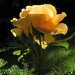 Kulturrose Bluete orange Rosa 16