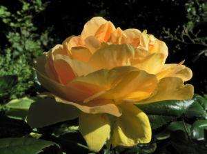 Kulturrose Bluete orange Rosa 17
