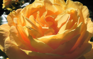 Kulturrose Bluete orange Rosa 21