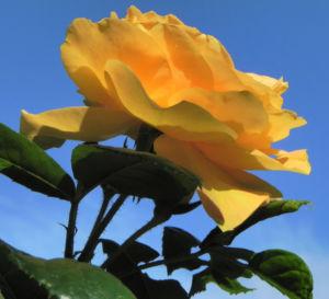 Kulturrose Bluete orange Rosa 23