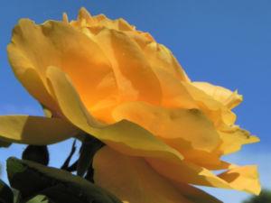 Kulturrose Bluete orange Rosa 25