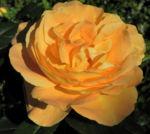 Bild: Kulturrose Blüte orange Blatt grün Rosa Spezies