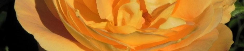 Anklicken um das ganze Bild zu sehen Kulturrose Blüte orange Blatt grün Rosa Spezies