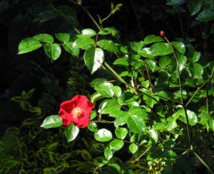 Kulturrose Bluete rot Rosa0 0