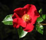 Kulturrose Bluete rot rosa 03