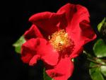 Kulturrose Bluete rot Rosa 02