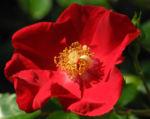 Kulturrose Blüte rot rosa 07