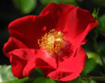 Bild: Kulturrose Blüte rot Rosa