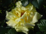 Kulturrose Gelbe Rose Bluete Rosa species 01