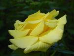 Kulturrose Gelbe Rose Bluete Rosa species 03