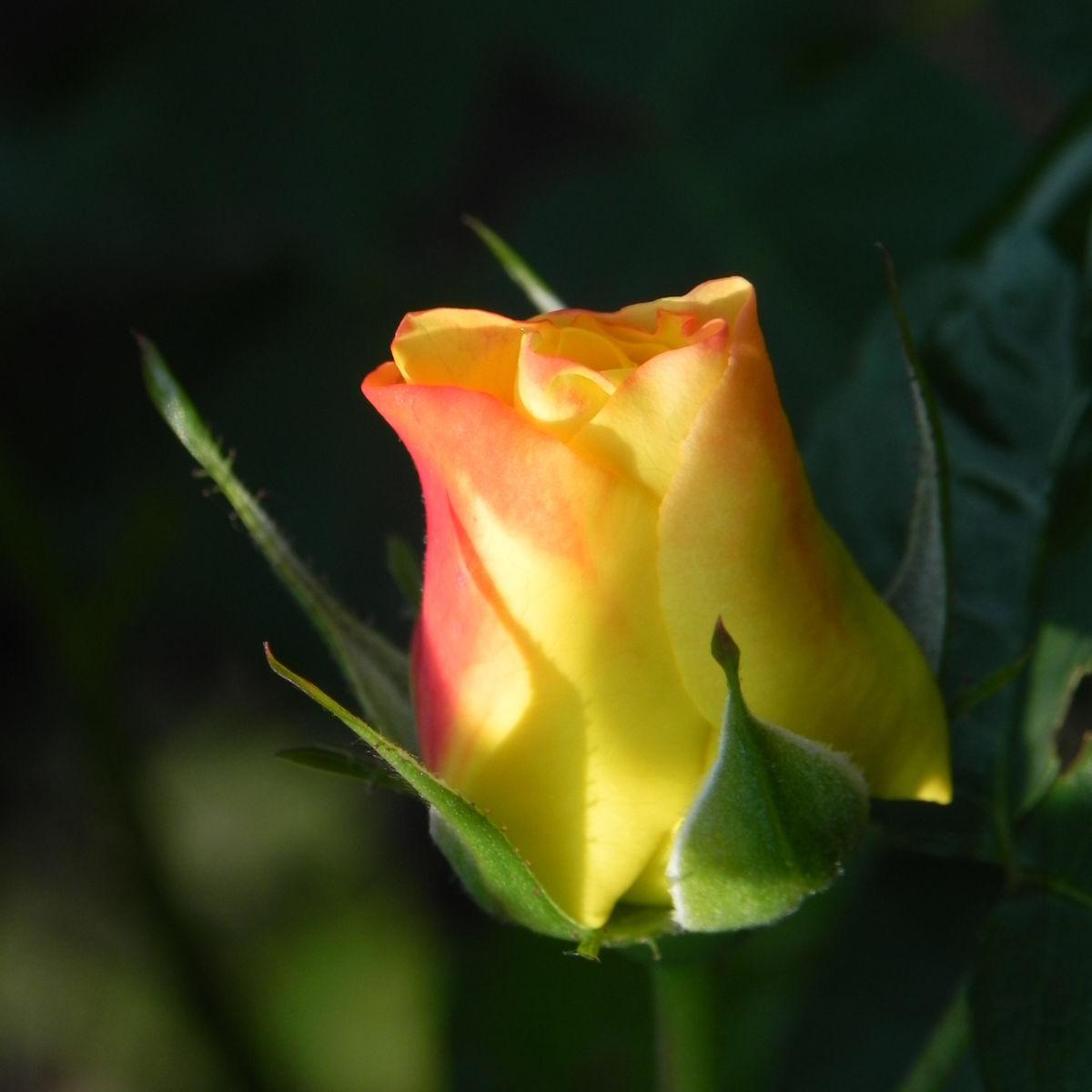 Kulturrose Gelbe Rose Bluete Rosa species
