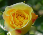 Kulturrose Gelbe Rose Bluete Rosa species 07
