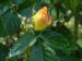 Zurück zum kompletten Bilderset Kulturrose Gelbe Rose Blüte Rosa