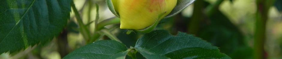 Anklicken um das ganze Bild zu sehen Kulturrose Gelbe Rose Blüte Rosa
