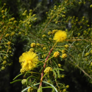 Bild: Kurara Dead Finish Bluete gelb Acacia tetragonophylla
