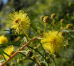 Kurara Dead Finish Bluete gelb Acacia tetragonophylla 06