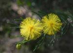 Kurara Dead Finish Bluete gelb Acacia tetragonophylla 07