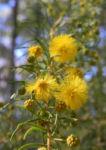 Kurara Dead Finish Bluete gelb Acacia tetragonophylla 08