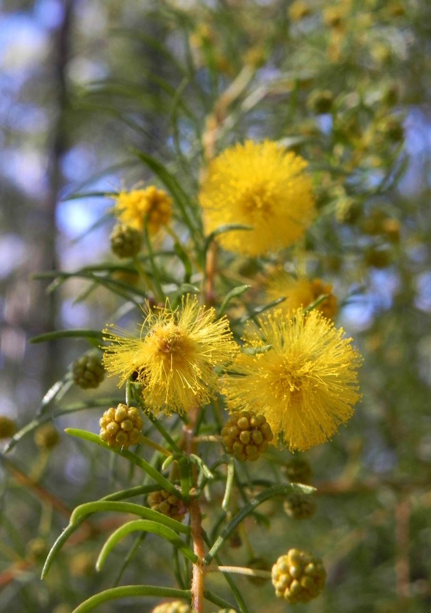 Kurara Dead Finish Bluete gelb Acacia tetragonophylla