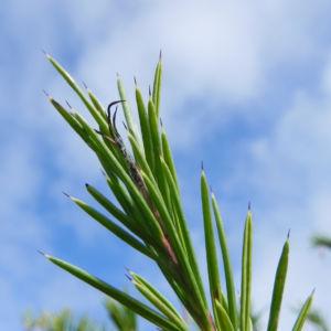 Lace Net Grevillea Blatt gruen Grevillea stenomera 12