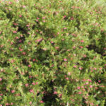 Lace Net Grevillea Blatt gruen Grevillea stenomera 13
