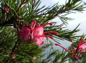Lace Net Grevillea Bluete pink Grevillea stenomera 06
