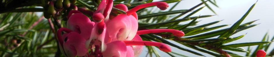 lace-net-grevillea-bluete-pink-blatt-gruen-grevillea-stenomera