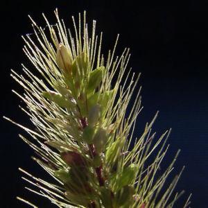 Lampenputzer Gras Pennisetum alopecuroides 02