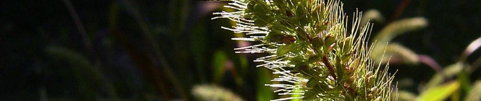 lampenputzer-gras-rispe-gruen-pennisetum-alopecuroides
