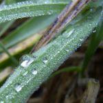 Lampenputzergras Pennisetum alopecuroides 03