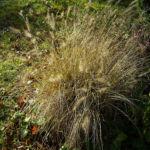 Lampenputzergras Pennisetum alopecuroides 04