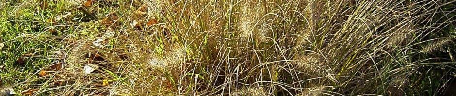 Anklicken um das ganze Bild zu sehen Lampenputzergras Rispen Pennisetum alopecuroides