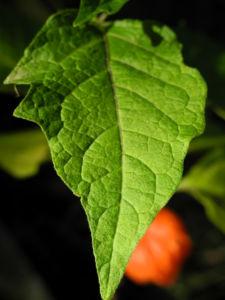 Lampionblume Blatt gruen Physalis alkekengi 30
