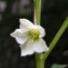 Zurück zum kompletten Bilderset Lampionblume Blüte weiß Physalis alkekengi