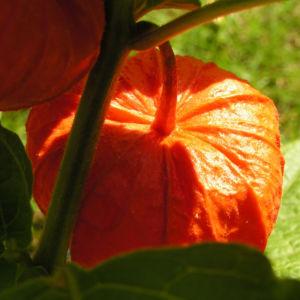 Lampionblume Frucht orange Physalis alkekengi 03