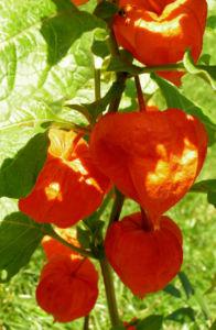 Lampionblume Frucht orange Physalis alkekengi 06