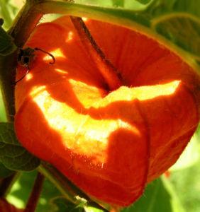 Lampionblume Frucht orange Physalis alkekengi 07