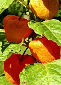 Lampionblume Frucht orange Physalis alkekengi 08