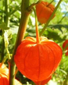 Lampionblume Frucht orange Physalis alkekengi 09