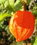 Lampionblume Frucht orange Physalis alkekengi 10