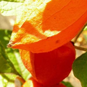 Lampionblume Frucht orange Physalis alkekengi 11