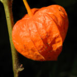 Lampionblume Frucht orange Physalis alkekengi 34