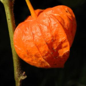 Bild: Lampionblume Frucht orange Physalis alkekengi