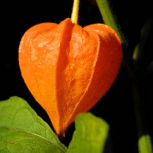 Lampionblume Frucht orange Physalis alkekengi 44
