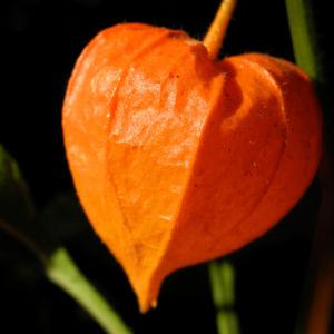 Lampionblume Frucht orange Physalis alkekengi 47