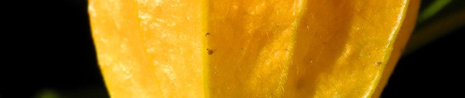 lampionblume-frucht-orange-blatt-gruen-physalis-alkekengi