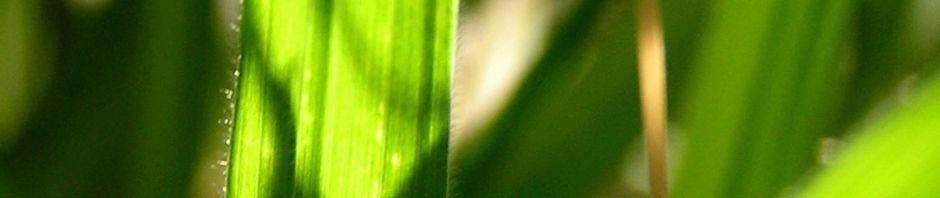 land-reitgras-rispen-braun-calamagrostis-epigejos