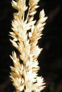 Land Reitgras Rispen braun Calamagrostis epigeios 04