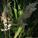 Land Reitgras Rispen braun Calamagrostis epigeios 06