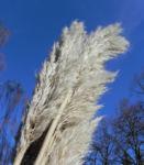 Land Reitgras Samenrispe silbrig Calamagrostis epigejos 01